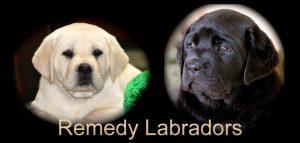 Remedy Labradors