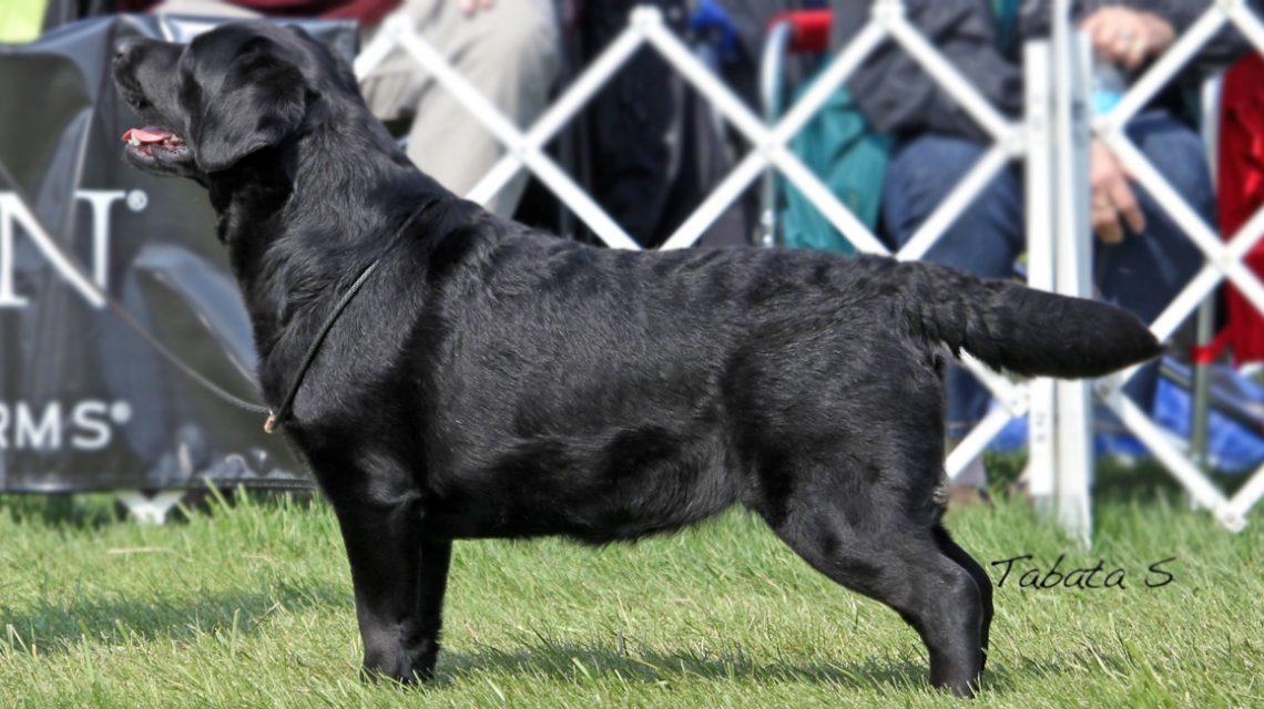Caerleon Labradors