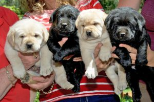 Four puppies being held